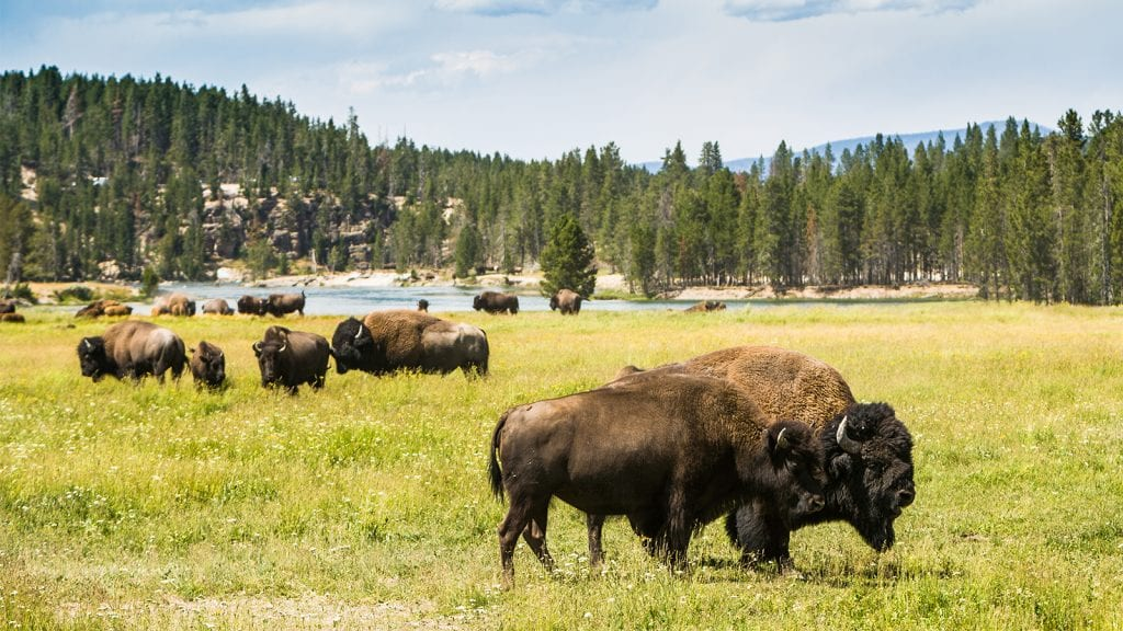 See Wildlife in Yellowstone