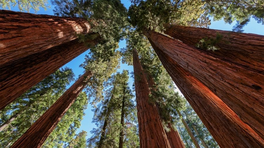 Giant Sequoia Trees at Sequoia and Kings Canyon National Park