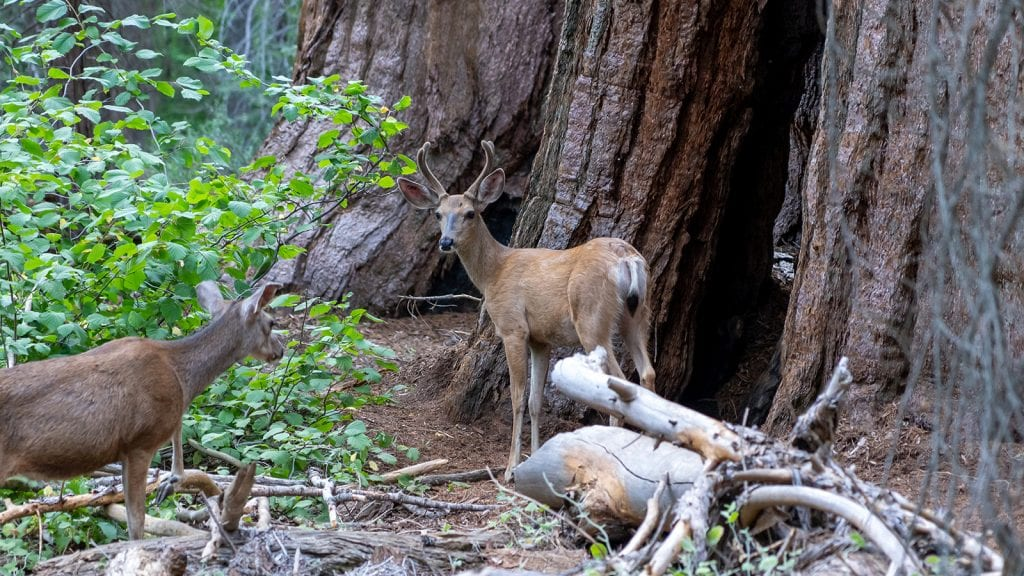 Wildlife Watching in Sequoia and Kings