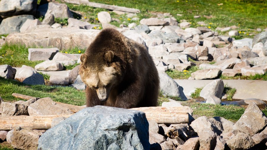 Grizzly and Wolf Discovery Center at Yellowstone National Park